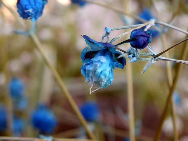 濃い青い花