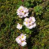 せせらぎ緑道の花1
