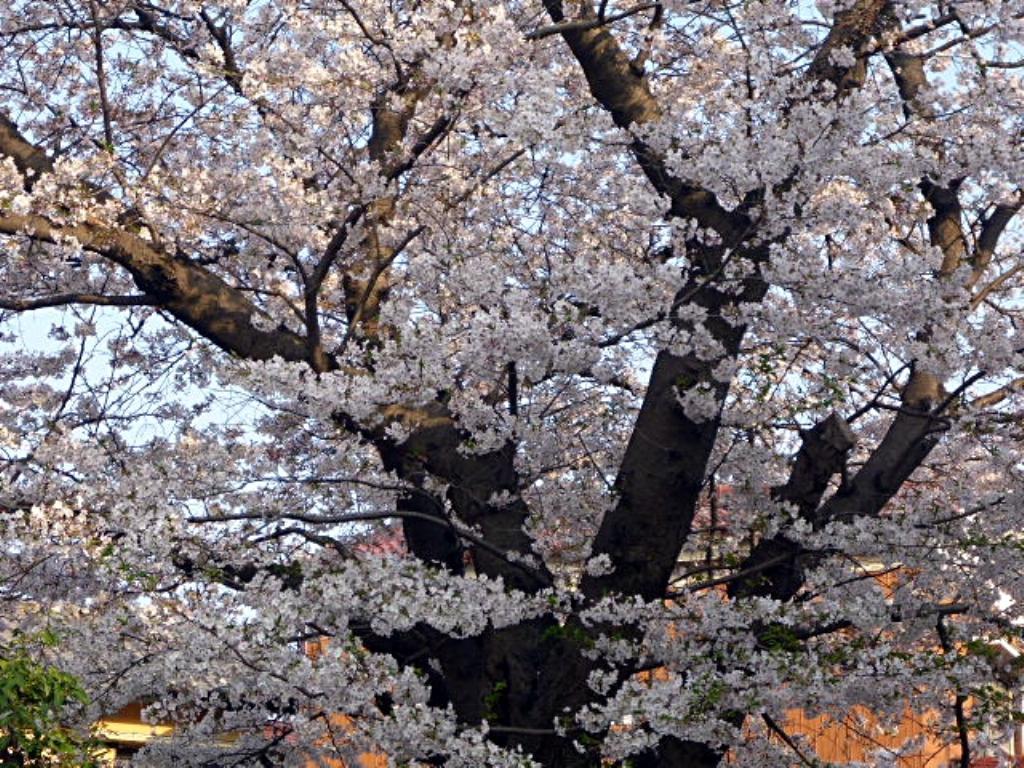 入江川せせらぎ緑道の桜