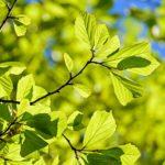 percian-oak-wood