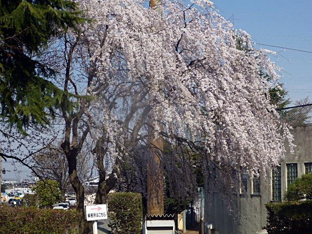 川越城本丸御殿駐車場の桜