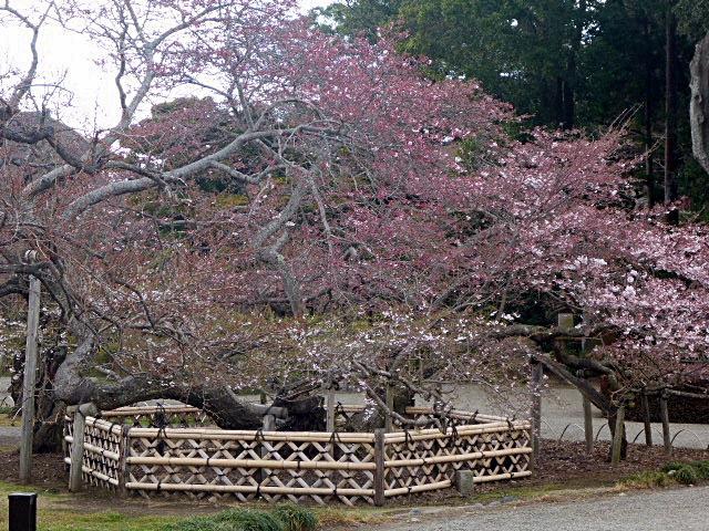 偕楽園桜3