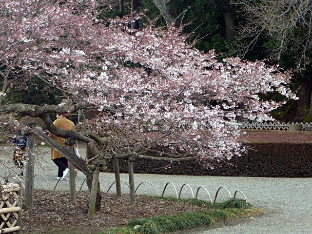 偕楽園桜1